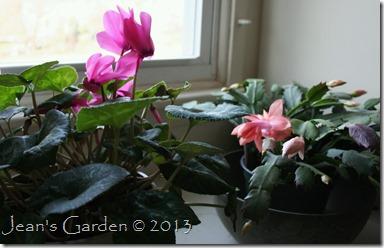 cyclamen & cactus
