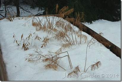amsonia foliage in snow