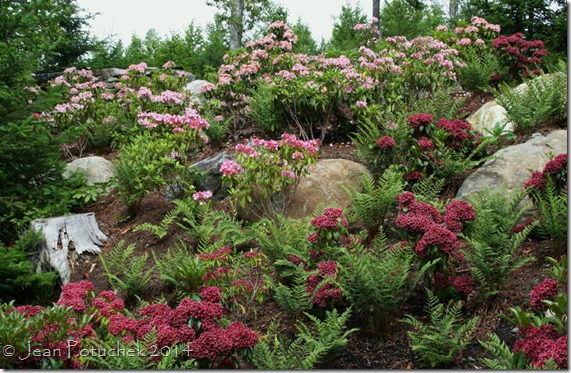 mountain laurel hillside
