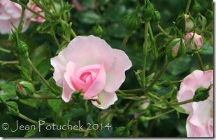 parkland rose