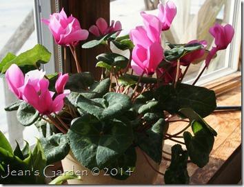 pink cyclamen 2014