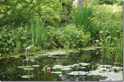 water lily & iris