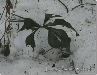 winter hellebore foliage