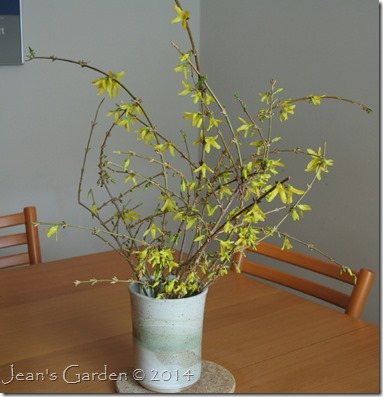 dining room forsythia