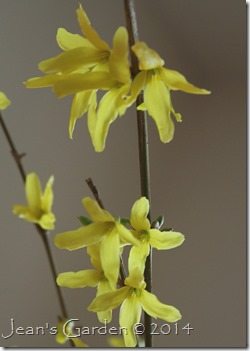 forsythia flowers forced