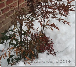 nandina in snow