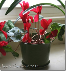 red cyclamen feb