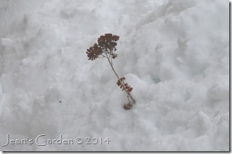 sedum in snow