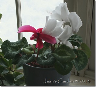 white and pink cyclamen feb