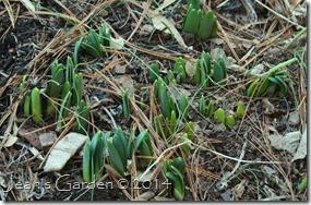 daffodil new growth