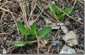hyacinths emerging
