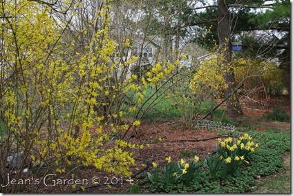 forsythia & daffodils2