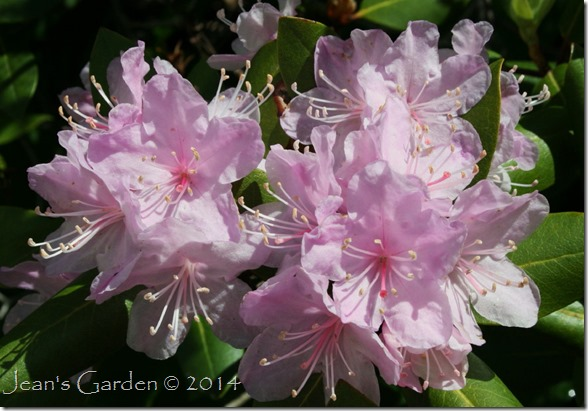 back slope rhododendron blooms