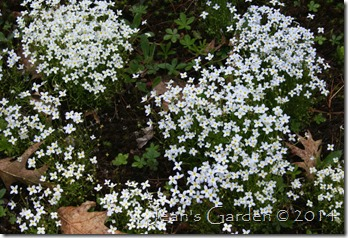 bluets carpet