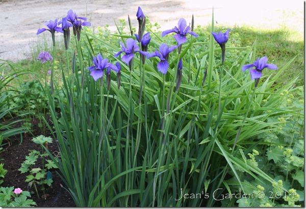 circular bed irises