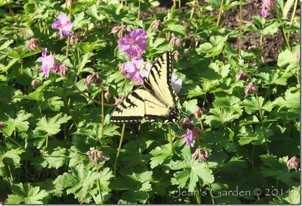swallowtail nectaring