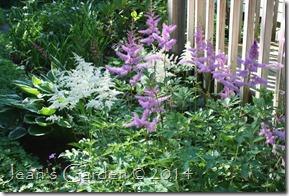 astilbe blooms 2014