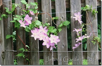clematis comtesse 2014