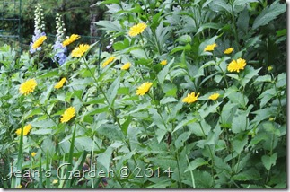 heliopsis b&y july 2014