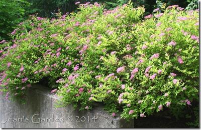 pink spirea blooms