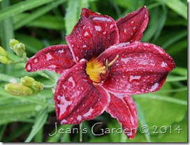 red daylily in rain