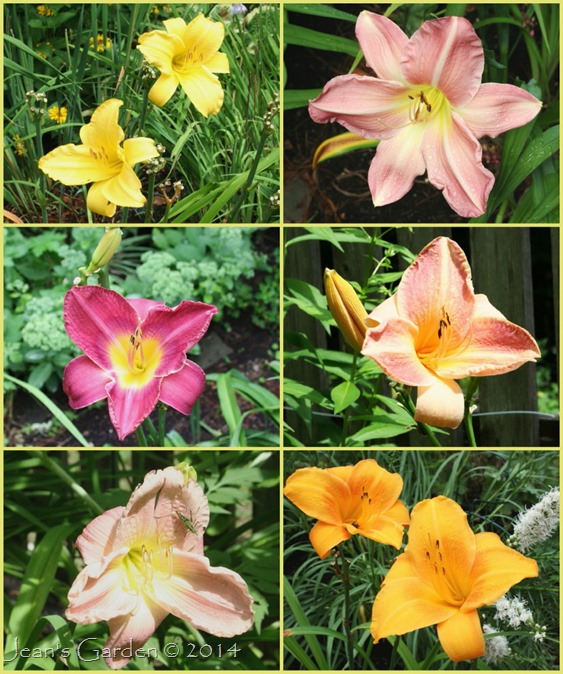 fading august daylilies