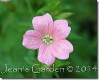 geranium x oxonianum