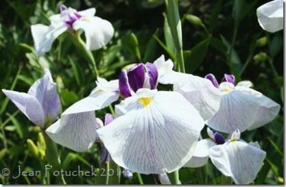 Hudson japanese iris