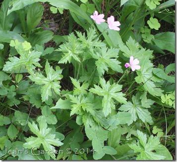 oxonianum seedling flowers