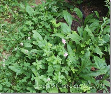 oxonianum seedlings