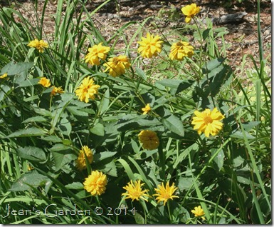 fall heliopsis