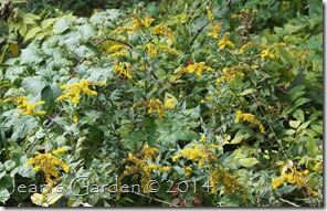 late blooming solidago
