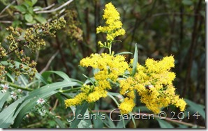 late solidago macro