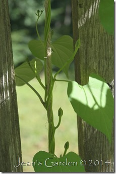 morning glory buds 2014
