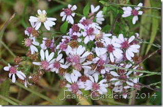 pale pink aster