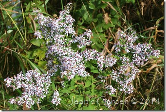 pale roadside asters