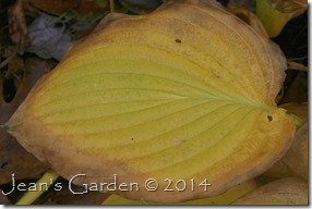hosta gold leaf
