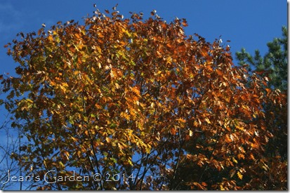 oak leaves fall sky_1
