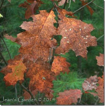 russet oak leaves_1