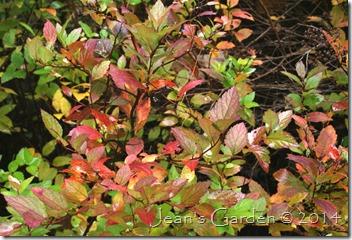 spirea scarlet foliage