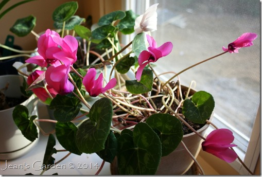 cyclamen - new plant window