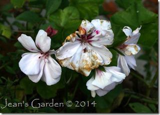 November geranium
