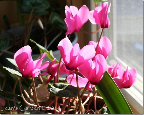 pink cyclamen in bloom