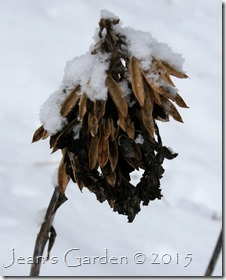 hosta seedhead in snow