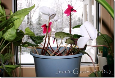 pink & white cyclamen blooming