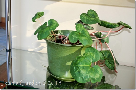 red cyclamen jan 2015