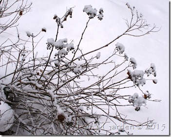 spirea seedheads in snow
