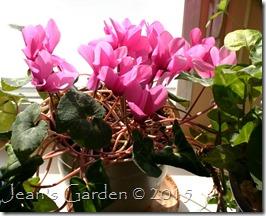 February pink cyclamen