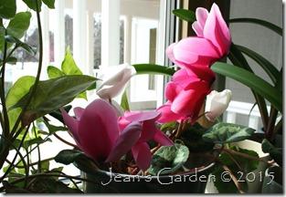 February pink & white cyclamen