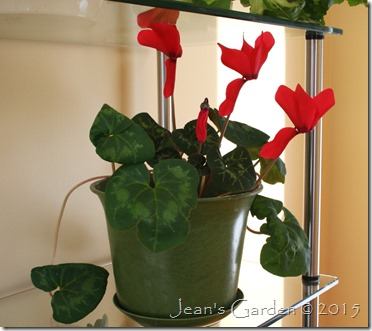 february red cyclamen